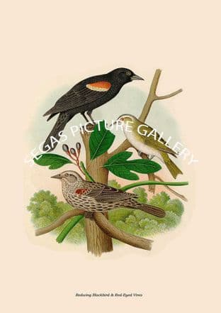 Redwing Blackbird & Red-Eyed Vireo