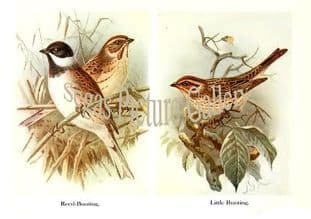 Reed-Bunting & Little Bunting