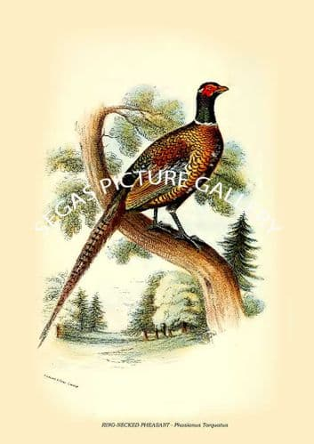 Fine art print of the RING-NECKED PHEASANT - Phasianus Torquatus by W. R. Ogilvie-Grant (1897)