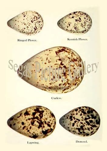 Ringed Plover, Kentish Plover, Curlew, Lapwing, Dotterel Eggs