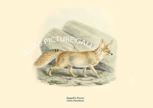 Ruppells Fennec, Canis Famelicus