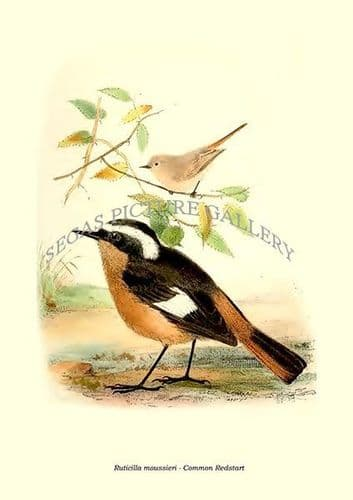 Fine art print of the Ruticilla Moussieri - Common Redstart by Philip Lutley Sclater (1859 to 1862) reproduced by Segas Picture Gallery.<br />Open Edition