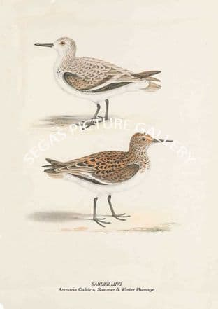 SANDER LING - Arenaria Calidris, Summer & Winter Plumage