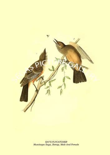 SAY'S FLYCATCHER - Muscicapa Saya, Bonap, Male And Female