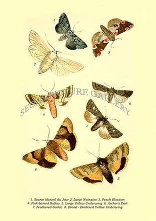 Scarce Marveil du Jour, Large Wainscot, Peach Blossom, Pink-barred Sallow, Large Yellow