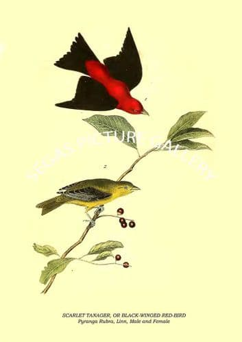 SCARLET TANAGER, OR BLACK-WINGED RED-BIRD - Pyranga Rubra, Linn, Male and Female