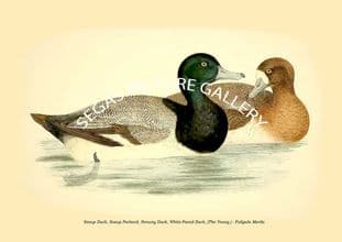 Scaup Duck, Scaup Pochard, Norway Duck, White-Faced Duck, (The Young.) - Fuligula Marila
