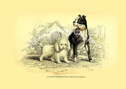 SCOTTISH TERRIER & BULL-DOG (Canis Anglicus)