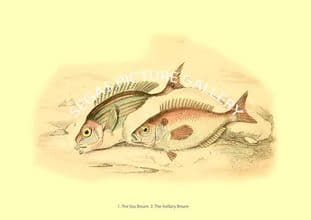 Sea Bream - Axillary Bream