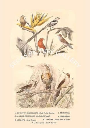 Shaft-Tailed Bunting, , Pin-Tailed Whydah, , Song Thrush, Missel Bird, Or Shrite, Marsh Warbler