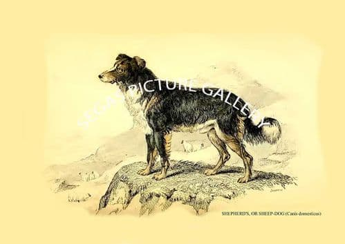 SHEPHERD'S, OR SHEEP-DOG (Canis domesticus)