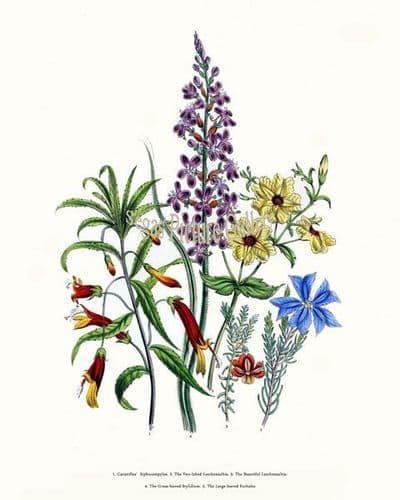 Fine art print of the Cavanilles' Siphocampylos, Two-lobed Leschenaultia, Beautiful Leschenaultia, Grass-leaved Stylidium, Large-leaved Euthales by Mrs Webb Loudon