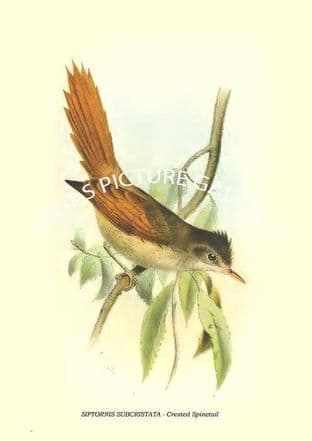 SIPTORNIS SUBCRISTATA - Crested Spinetail