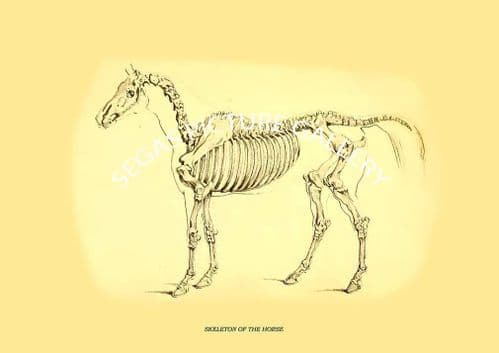 SKELETON OF THE HORSE