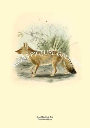Small-Toothed Dog, Canis Parvidens
