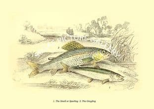Smell or Sparling  - Grayling