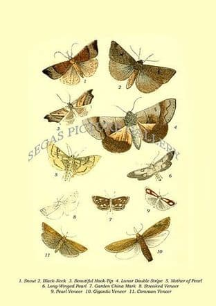 Snout, Black-Neck, Beautiful Hook-Tip, Lunar Double Stripe, Mother of Pearl, Long-Winged