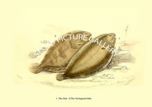 sole - Variegated Sole
