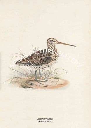 SOLITARY SNIPE - Scolopax Major