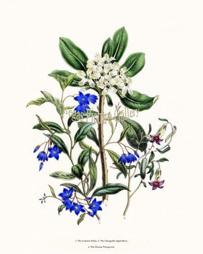 Fine art print of the Common Sollya, Changeable Apple-Berry, Chinese Pittosporum by Mrs Webb Loudon