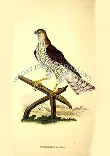 SPARROW HAWK - Falco Nisus