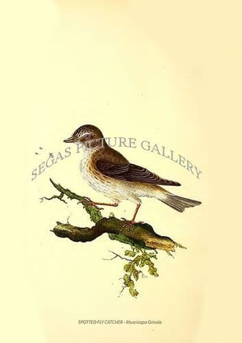 SPOTTED FLY CATCHER - Muscicapa Grisola