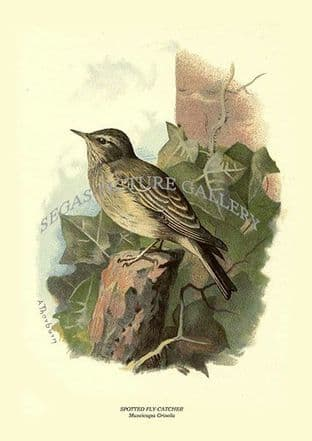 SPOTTED FLY-CATCHER - Muscicapa Grisola