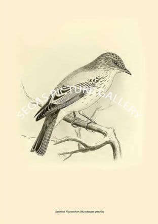 Spotted Flycatcher (Muscicapa grisola)