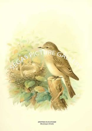 SPOTTED FLYCATCHER - Muscicapa Grisola