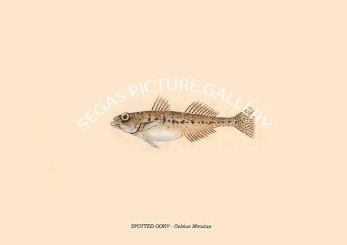 SPOTTED GOBY -- Gobius Minutus