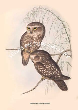 Spotted Owl - Strix Occidentalis