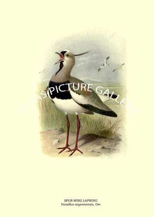 SPUR-WING LAPWING, Vanellus cayennensis, Gm