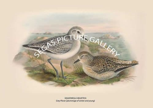 SQUATAROLA HELVETICA Grey Plover (plummage of winter and young)