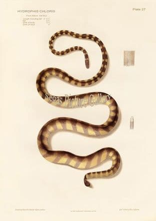 Striped Sea Snake, Hydrophis chloris