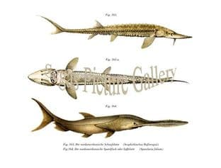 Sturgeon, Paddlefish