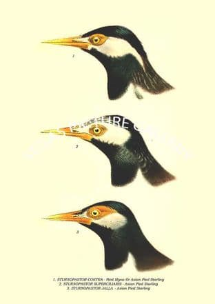 STURNOPASTOR CONTRA - Pied Myna or Asian Pied Starling, SUPERCILIARIS - Asian Pied Starling, JALLA