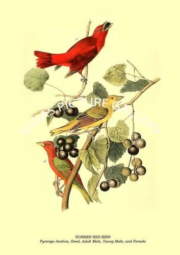SUMMER RED-BIRD - Pyranga Aestiva, Gmel, Adult Male, Young Male, and Female
