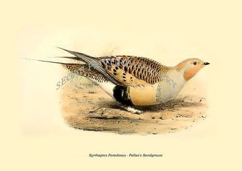 Fine art print of the Syrrhaptes Paradoxus - Pallas's Sandgrouse by Philip Lutley Sclater (1859 to 1862) reproduced by Segas Picture Gallery.<br />Open Edition