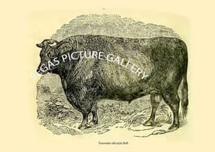 Teeswater old style Bull