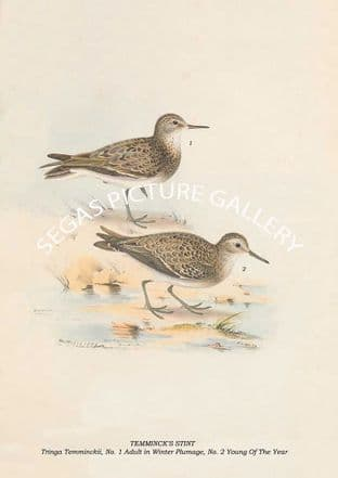 TEMMINCK'S STINT - Tringa Temminckii, No. 1 Adult in Winter Plumage, No. 2 Young Of The Year