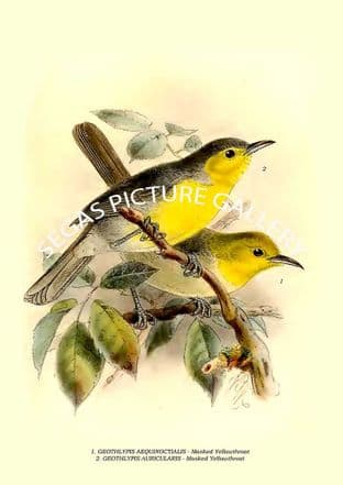 TERETISTRIS FERNANDINOE - Common Yellow Throat , TERETISTRIS FORNSI - Oriente Warbler