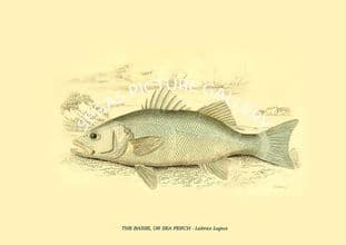 THE BASSE, OR SEA PERCH - Labrax Lupus