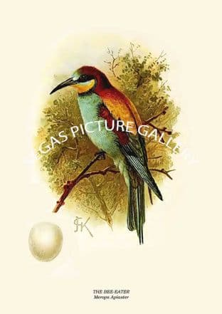 THE BEE-EATER - Merops Apiaster