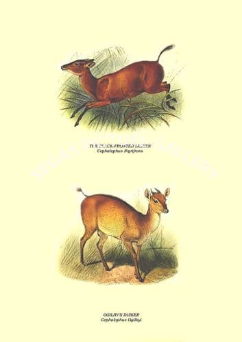THE BLACK-FRONTED DUIKER - Cephalophus Nigrifrons, OGILBY'S DUIKER - Cephalophus Ogilbyi