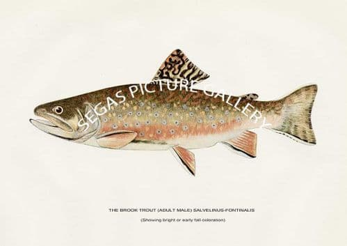 Fine art print of the The Brook Troat (Adult Male) Salvelinus-Fontinalis (Showing bright - early fall coloration) by H H Leonard (1914)