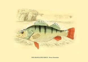 THE GRANULATED PERCH - Perca Granulata