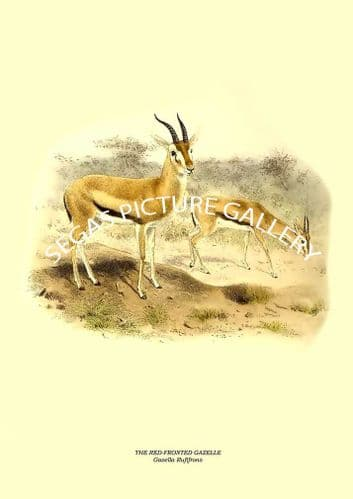 THE RED-FRONTED GAZELLE - Gazella Rufifrons