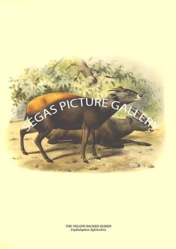 THE YELLOW-BACKED DUIKER - Cephalophus Sylvicultrix