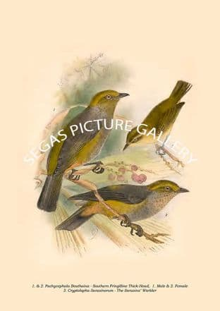 Thick-Head & Warbler