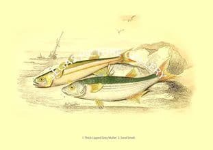 Thick-Lipped Grey Mullet - Sand Smelt